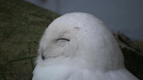 Beautiful Snowy Owl sleepily looks around (High Definition) Stock Video Footage