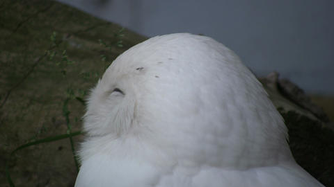 Beautiful Snowy Owl sleepily looks around (High Definition) Footage