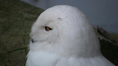 Beautiful Snowy Owl sleepily looks around (High Definition) Stock Video Footage