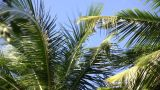 Palm Tree Gently Sways Amidst A Blue Sky (High Definition) stock footage