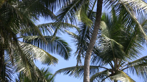 Palm tree gently sways amidst a blue sky (High Definition) Stock Video Footage