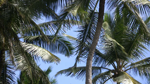 Palm tree gently sways amidst a blue sky (High Definition) Live Action