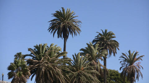 Palm trees sway in wind on sunny day (High Definition) Stock Video Footage