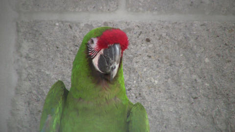 Closeup of Military Macaw parrot looking around (High... Stock Video Footage