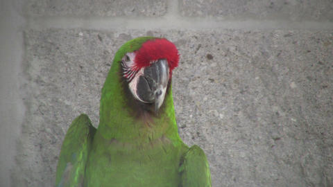 Closeup of Military Macaw parrot looking around (High Definition) Footage