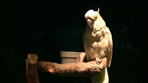 White parrot illuminated with spot light amidst dark background Footage