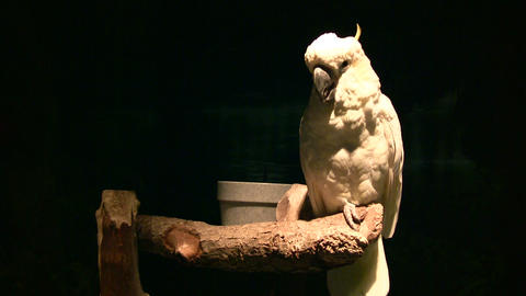 White parrot illuminated with spot light amidst dark... Stock Video Footage