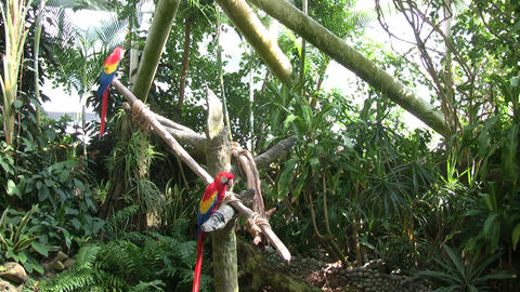 Some Scarlet Macaw parrots are perched on some branches Footage