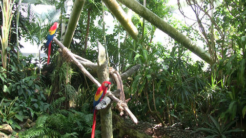 Some Scarlet Macaw parrots are perched on some branches Stock Video Footage