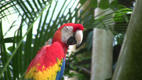 Scarlet Macaw parrot is perched on a branch Footage