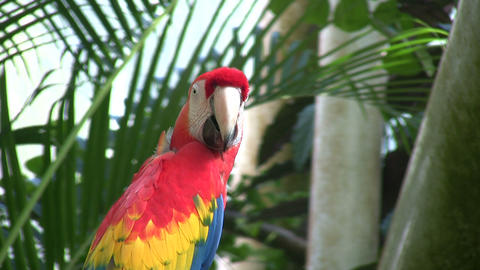 Scarlet Macaw parrot is perched on a branch Stock Video Footage