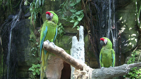 Two Military Macaw parrots are perches on branches Footage