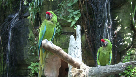 Two Military Macaw parrots are perches on branches Stock Video Footage