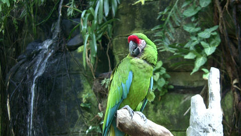 Military Macaw parrot is resting on a branch Footage