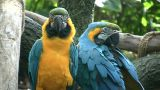 Pair Of Blue And Gold Macaw Parrots Hang Out Together stock footage