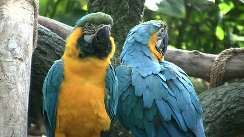 Pair of Blue and Gold Macaw parrots hang out together Stock Video Footage