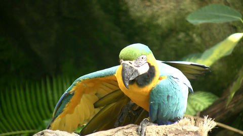 Blue and Gold Macaw parrot is resting on a branch Stock Video Footage
