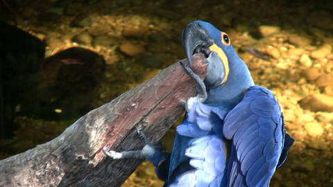Hyacinth Macaw parrot is resting on a branch Stock Video Footage