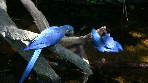 Two Hyacinth Macaw Parrots Are Resting On A Branch stock footage