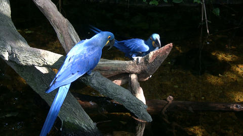Two Hyacinth Macaw parrots are resting on a branch Stock Video Footage