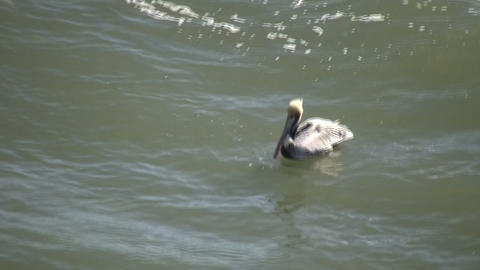Pelican swims in the ocean on sunny day (High Definition) Stock Video Footage