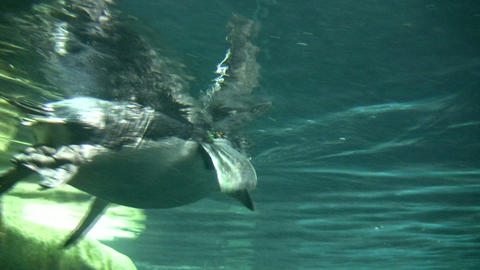 Closeup of a Gentoo Penguin swimming through the water Footage