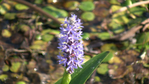 Pickerel Weed sways in wind on sunny day (High Definition) Footage