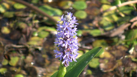 Pickerel Weed sways in wind on sunny day (High Definition) Stock Video Footage