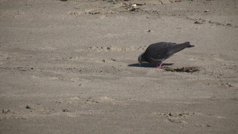 Pigeon is walking around beach looking for food (High... Stock Video Footage