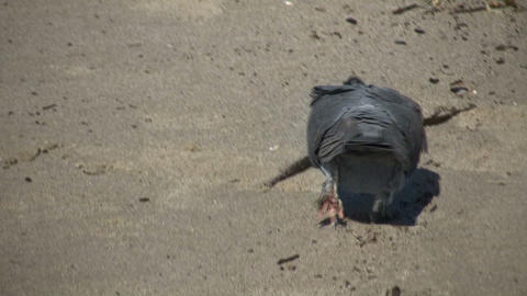 Pigeon is walking around beach looking for food (High Definition) Footage