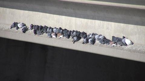 Pigeons huddle together on ledge to stay warm (High Definition) Footage