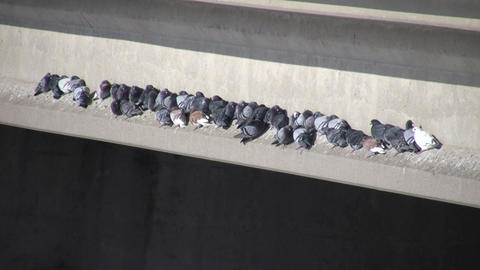 Pigeons huddle together on ledge to stay warm (High... Stock Video Footage