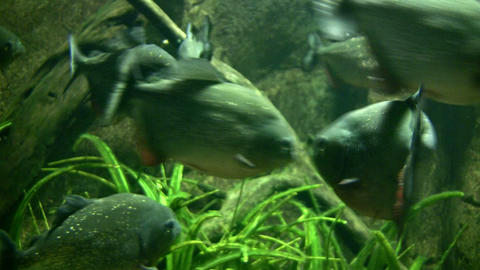Close-up of piranha resting quietly the dark water Footage