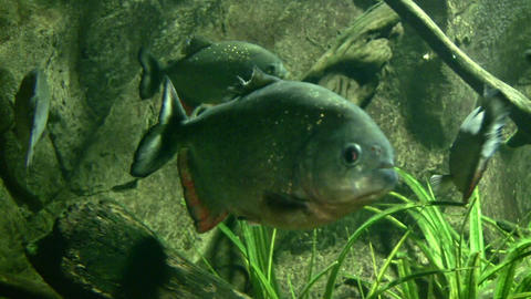 Close-up of piranha resting quietly the dark water Stock Video Footage