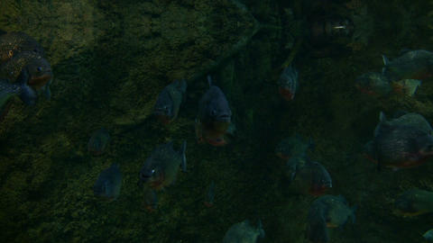 School of Piranhas are swimming through the dark water Footage