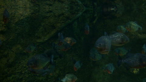 School of Piranhas are swimming through the dark water Stock Video Footage