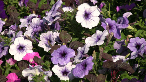 Purple Petunia wildflowers gently sway in the wind (High... Stock Video Footage