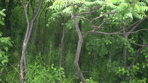 Heavy rain falls amidst a lush green forest (High... Stock Video Footage