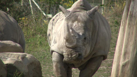 Rhinoceros is hanging out in the sunshine Stock Video Footage