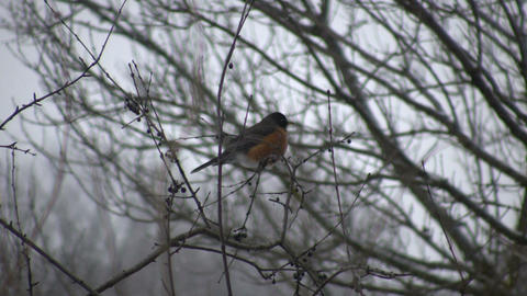 Robin sits in a tree - first sign of spring (High... Stock Video Footage