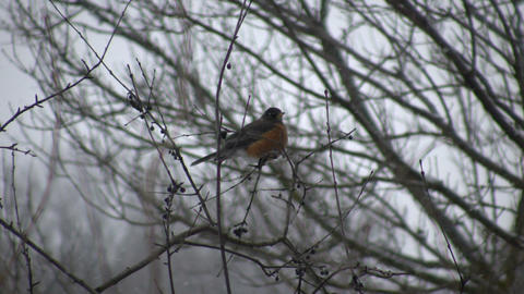 Robin sits in a tree - first sign of spring (High Definition) Footage