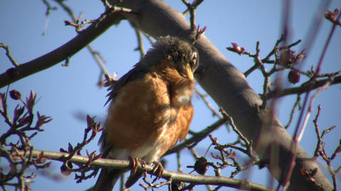 Robin is sitting in a tree, grooming itself (High Definition) Live Action