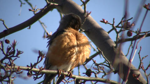 Robin is sitting in a tree, grooming itself (High... Stock Video Footage