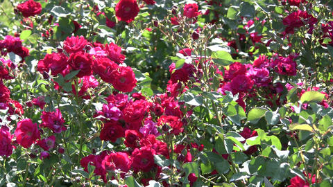 Beautiful red roses gently sway in the wind (High... Stock Video Footage