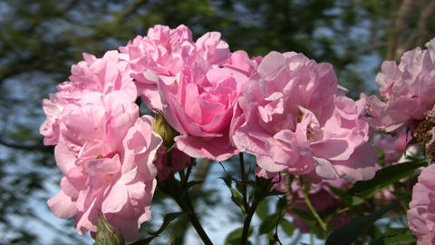 Beautiful Rosa Smarty roses gently sway in wind (High... Stock Video Footage