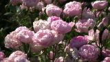 Beautiful Rosa Raubritter Roses Gently Sway In Wind (High Definition) stock footage