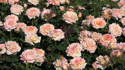 Rosa Golden Oldie roses gently sway in wind (High Definition) Footage