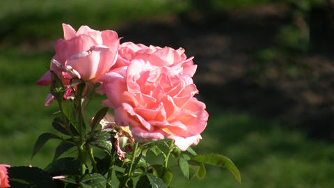 Rosa Atlantic Star roses gently sway in wind (High... Stock Video Footage