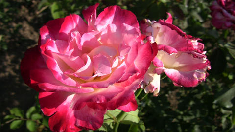 Rosa Double Delight roses gently sway in wind (High Definition) Footage