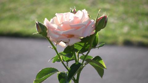 Rosa Sheer Elegance roses gently sway in wind (High... Stock Video Footage